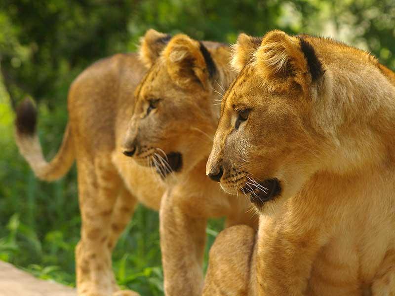 Vilda lejonungar i Sydafrika