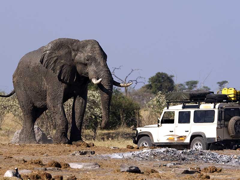 Stora magnifika elefanter träffar du här